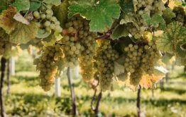 כרם יין